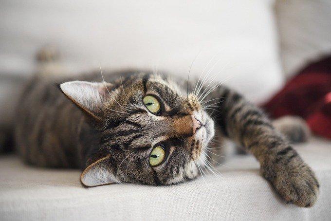 Le chat européen est une des races les plus populaires.