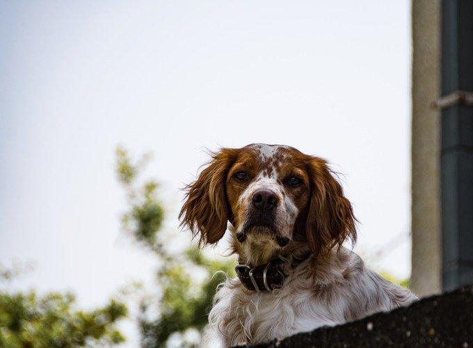 Races de chien indépendant