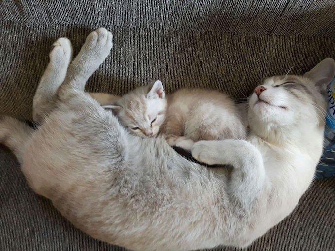 Chats endormi avec chaton