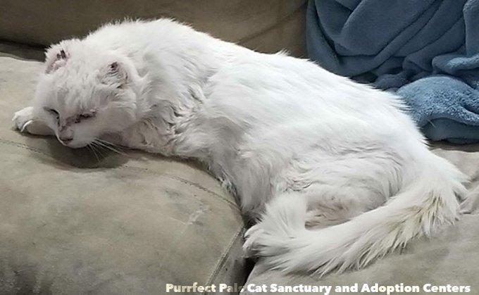 Pika, chat blanc sans oreilles.