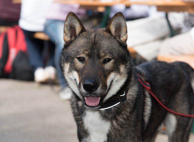 perro-japonés-shikoku