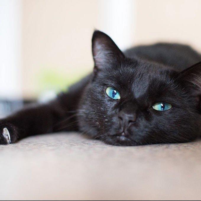 Chat noir aux yeux bleus