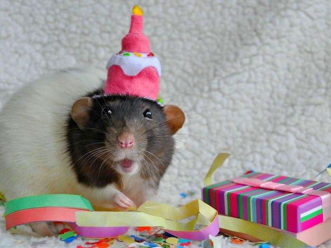 Les Radit' gris fêtent leur anniversaire sur Yummypets