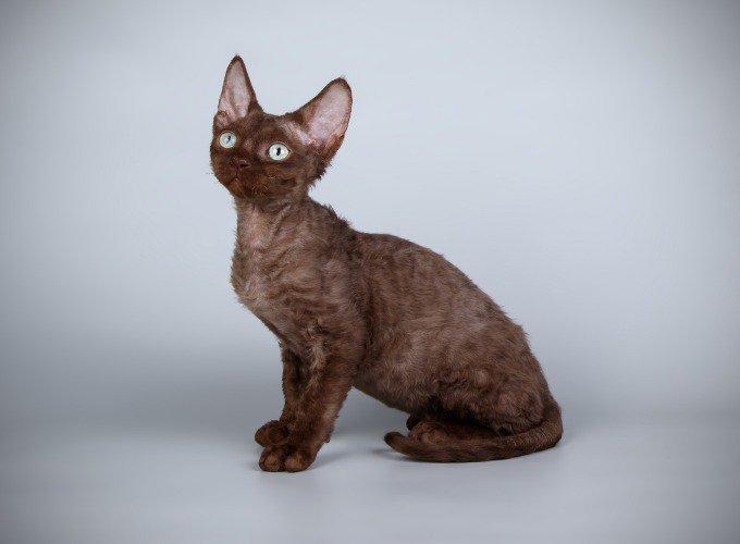 Les races de chats hypoallergéniques : le Devon rex