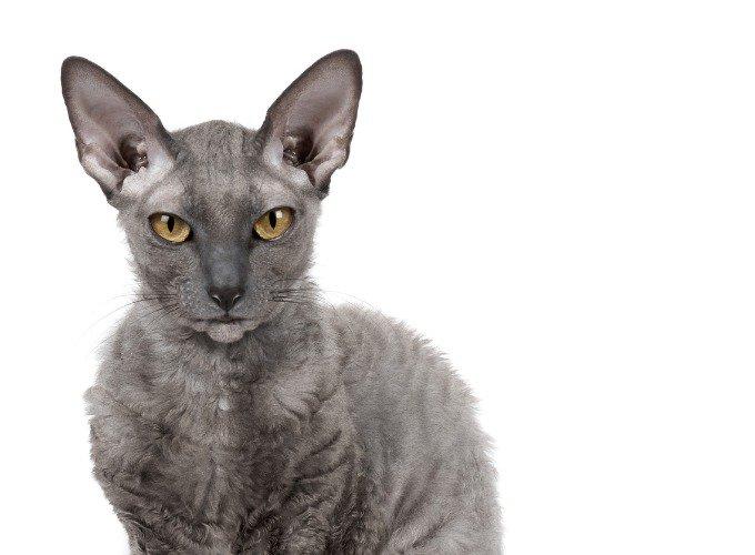 Les races de chats hypoallergéniques : le Cornish Rex.