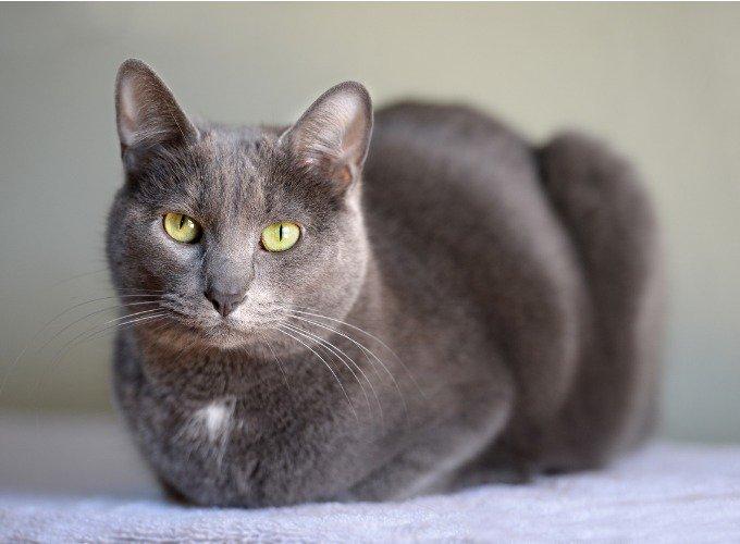 Les races de chats hypoallergéniques : le Korat