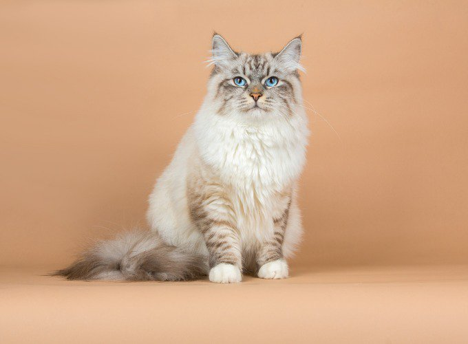 Les races de chats hypoallergéniques : le Sibérien
