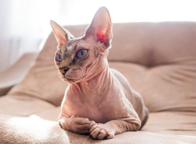 Les races de chats hypoallergéniques : le Sphynx.