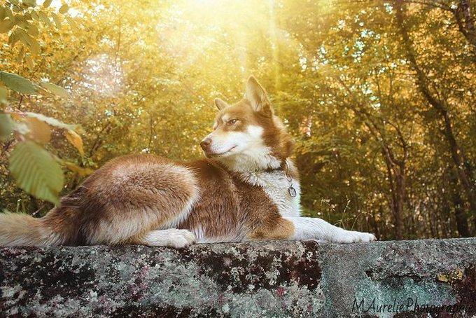Fidji est une husky de Sibérie. Elle a gagné au concours Real Dogs avec Dog Chow.