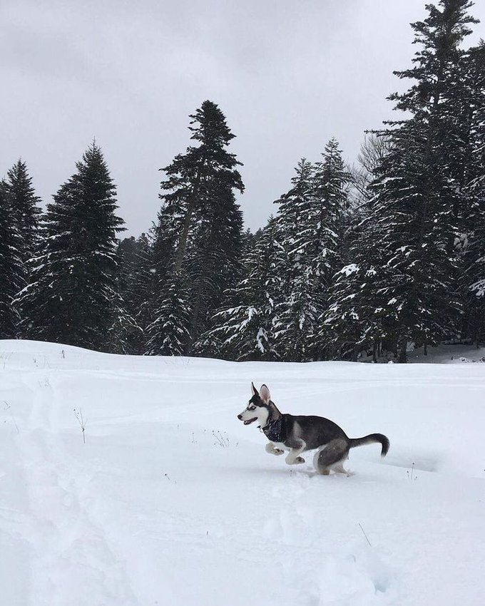 Luna est une Husky de Sibérie, elle a gagné au jeu Real Dogs avec sa photo.