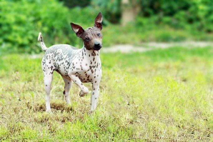 L'american hairless terrier fait partie des races de chien sans poils.