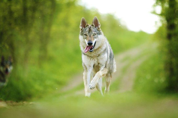 chien loup qui court
