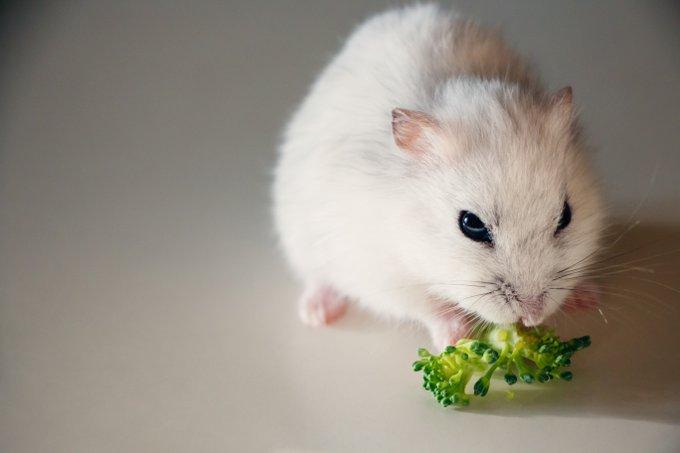 bien nourrir son hamster