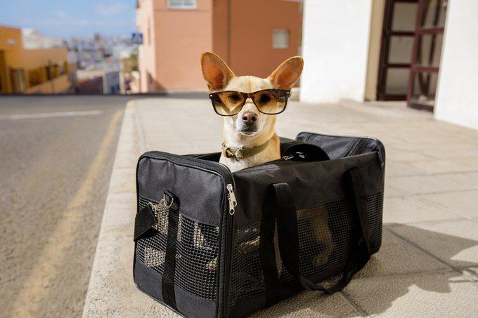 petit chien voyage