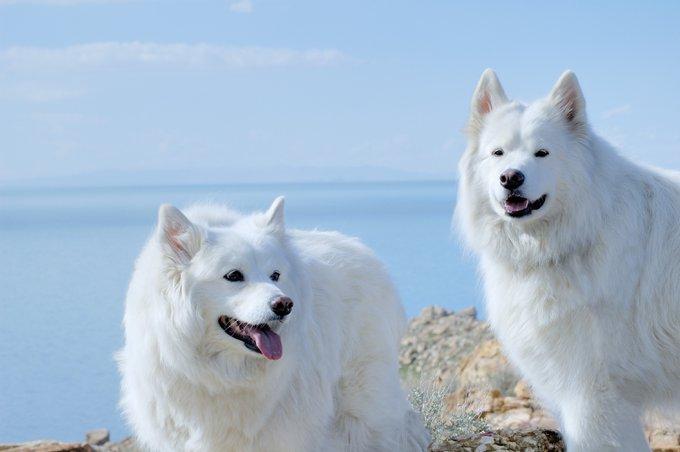 deux chiens blancs