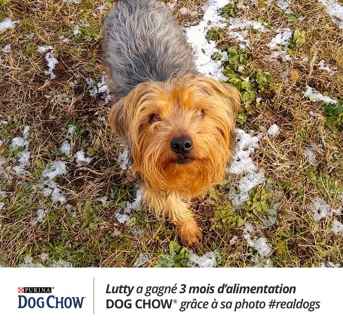 Lutty est une Yorkshire, elle a gagné au jeu Real Dogs avec sa photo.