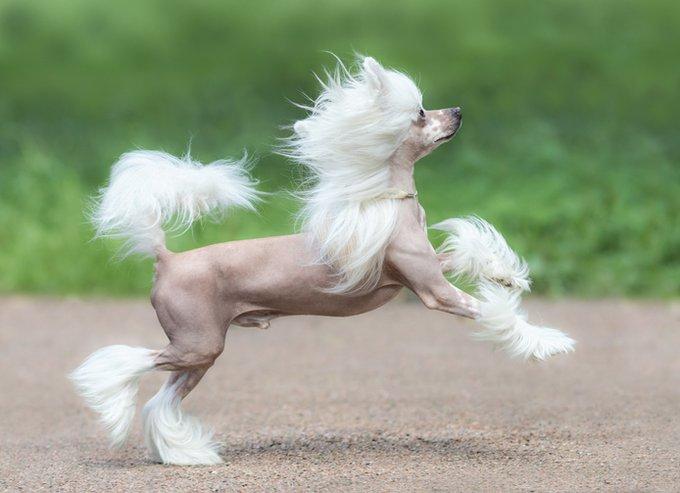 5 races de chien sans poils : le chien chinois à crête.