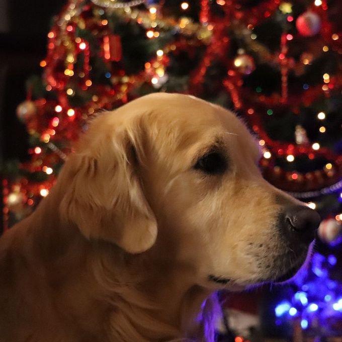 Tiguanou a remporté le concours photo de Noël sur Yummypets.