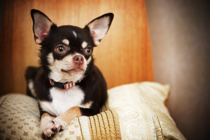 les races de chiens les plus populaires