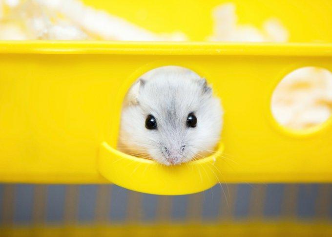 la cage du hamster russe