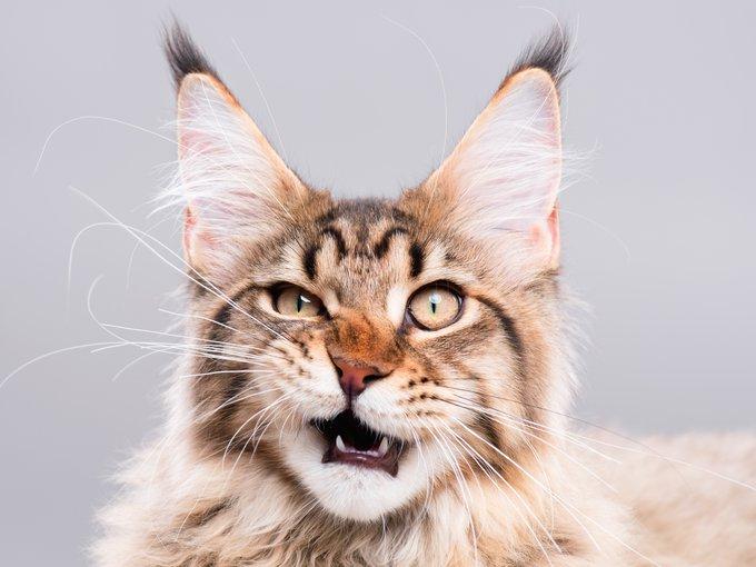 échelle de grimace chat