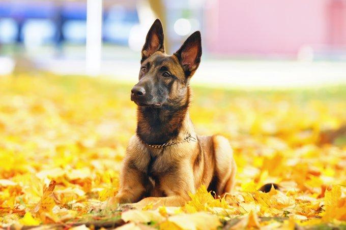 races de chiens les plus populaires