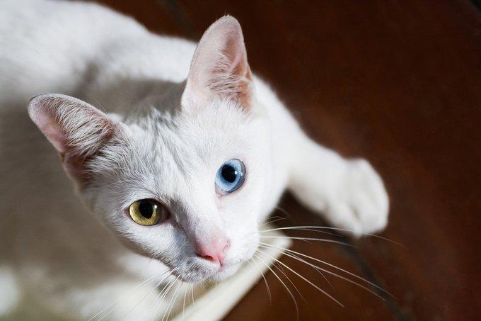 chats blancs