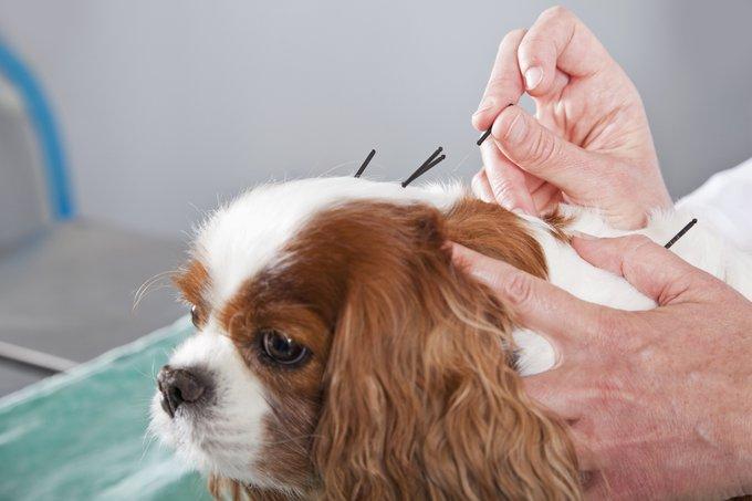 acupuntura en animales