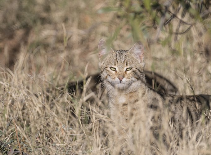 australia-feral-cats-saving-threatened-species-2019
