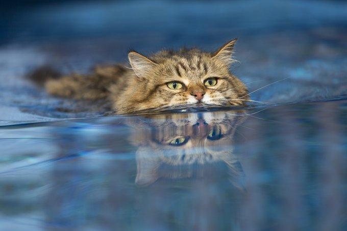 Sibérien chats qui aiment l'eau