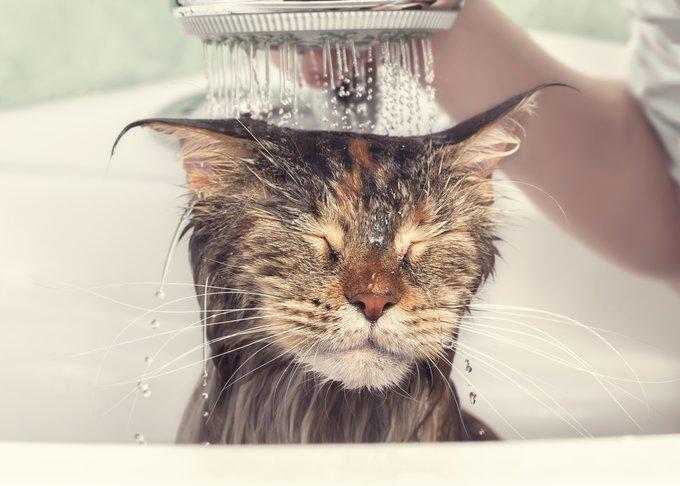 Maine Coon chats qui aiment l'eau