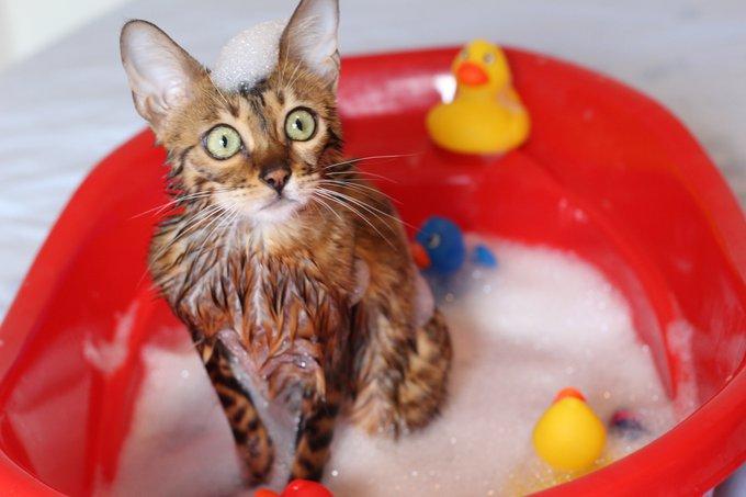 Bengal chats qui aiment l'eau