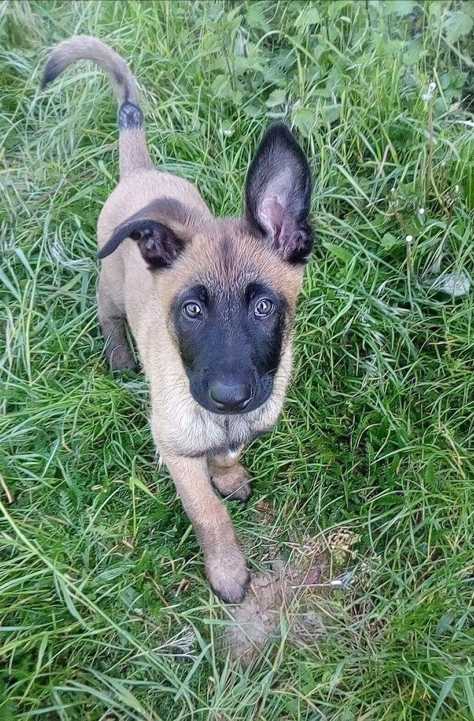 Stanley est un malinois de 3 mois, il a remporté le concours #Puppystart avec Optistart®.