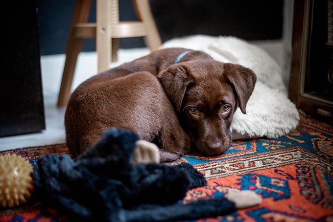 10 choses que vous ne saviez pas sur le Labrador.