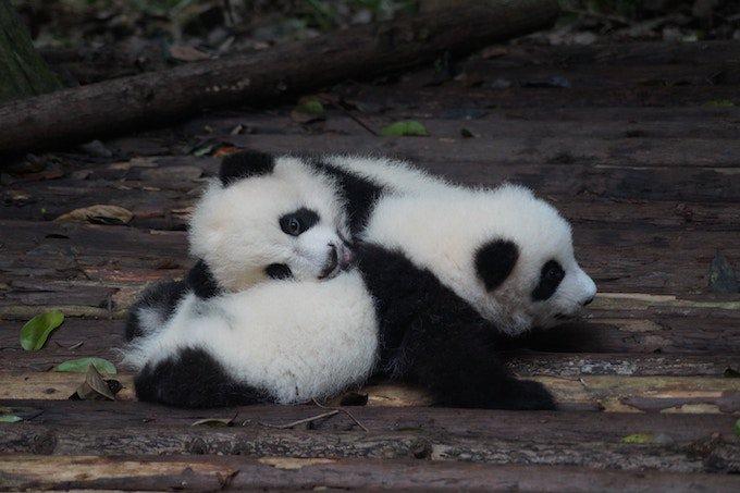 bebe-panda-yummypets