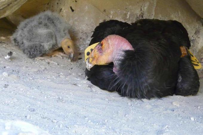Condor de Californie avec son petit.