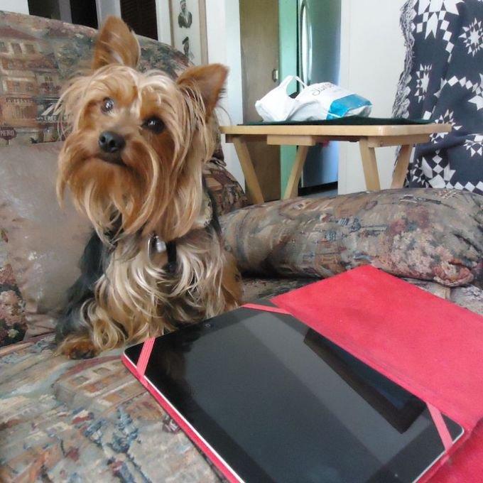 Goliath, Yokshire terrier.