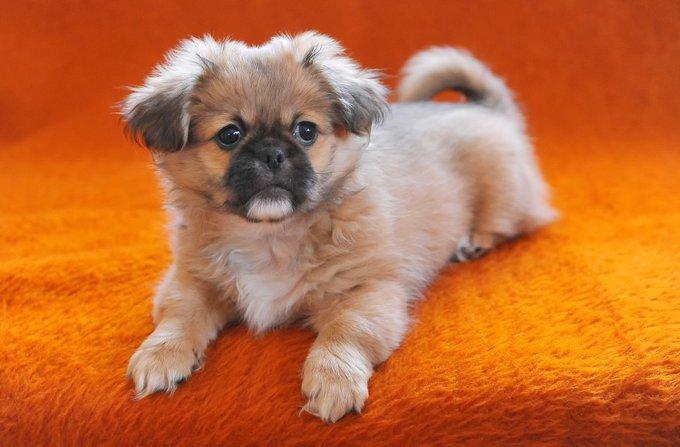 pékinois races de chiens adaptés aux séniors