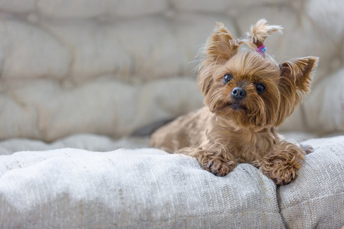 Yorskshire races de chiens les plus adaptées aux séniors