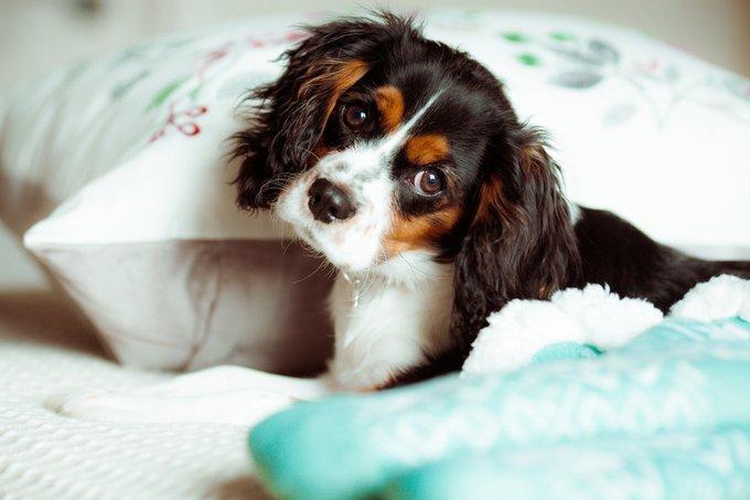 cavalier king charles races de chiens adaptées aux séniors