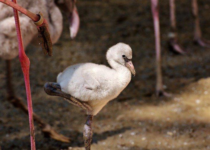 Le petit du flamant rose est de couleur blanche.