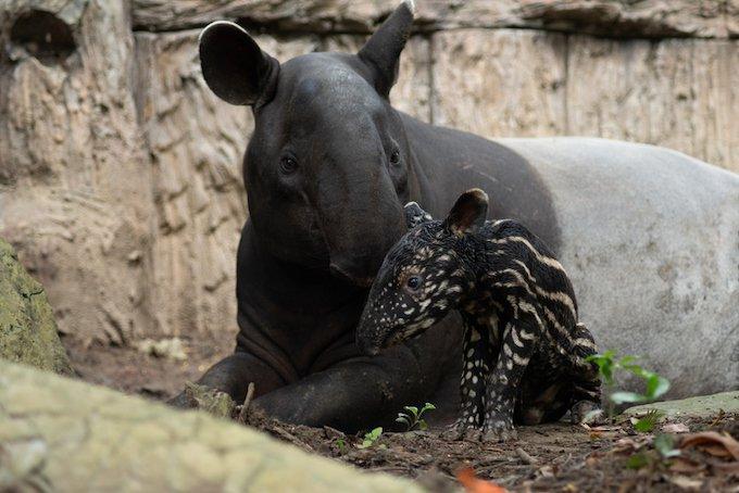 Un bébé tapir et sa maman quelques heures après la naissance.