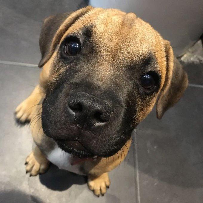 Gaïa est une petite Staffordshire terrier, et elle a remporté le jeu #PuppyStart.