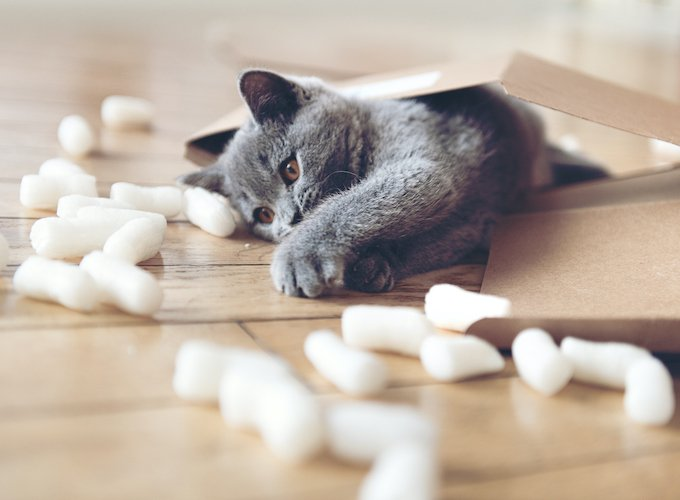 Grey kitten playing in a parcel with packing peanuts