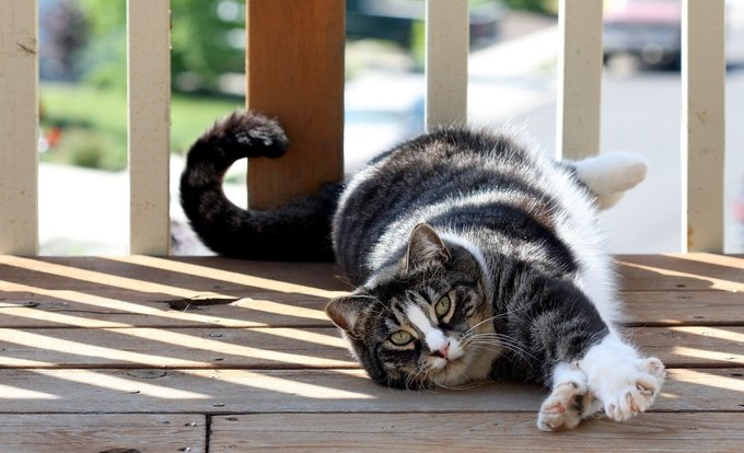 American shorthair cat breed lying on porch