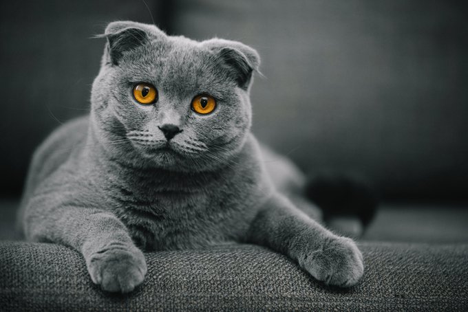 beautiful purebred scottish fold shorthair cat posing in front of camera