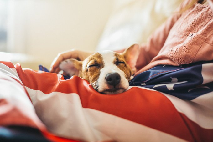Jack russel puppy sleeping on American flag fourth of july