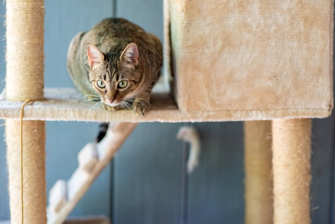 A beautiful, young tabby cat playing on a cat tower, with a blue wall in the background.