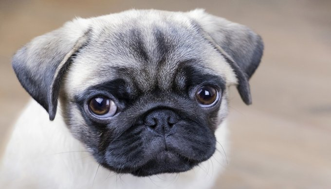 cute pug puppy looking at you, head close up