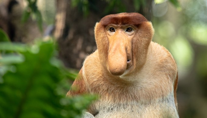 Portrait of a Male Proboscis Monkey with a big nose and a wary look.